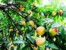Peaches. Many peaches bent the branches Royalty Free Stock Photos