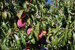 Peaches orchard. Peach trees full with ripe red peaches Stock Photography