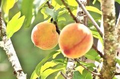 Peaches ready to harvest Royalty Free Stock Photos
