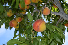 Peaches ripe for plucking royalty free stock photography