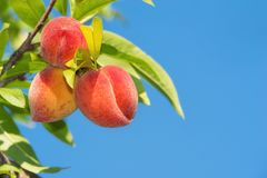 Peaches ripening on peach tree Stock Photos
