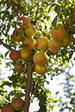Peaches on a Peach Tree Royalty Free Stock Image