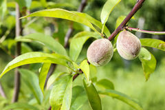 Peaches ripening on tree Stock Images