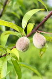 Peaches ripening on tree Royalty Free Stock Image