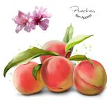 Peaches and splashes of watercolor painting. White background Stock Photos