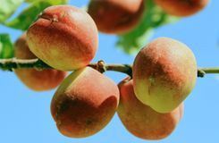 Peaches. Stacked peach on a branch stock photos