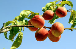 Peaches. Stacked peach on a branch royalty free stock images
