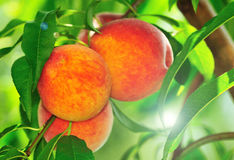 Peaches in summer royalty free stock photos