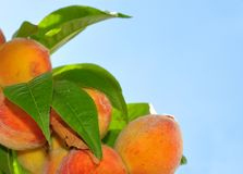 Peaches on tree Stock Image