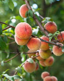 Peaches on the tree Stock Photo