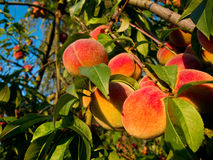 Peaches on tree. Fresh ripe peaches on a tree in warm sunlight Stock Images