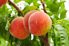 Peaches on tree royalty free stock images