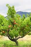 Peaches on tree Royalty Free Stock Photo
