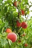 Peaches on tree Stock Photos