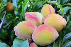 Peaches on a Tree Stock Photos