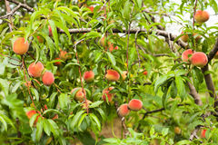 Peaches on a tree Stock Photography