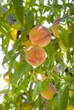 Peaches on tree. Fresh peaches grow on tree royalty free stock photos