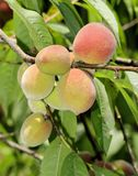 Peaches on Tree. Ready to pick Royalty Free Stock Photography
