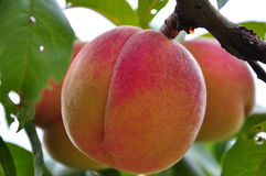 Peaches on the tree. Beautiful juicy peaches on a branch Stock Photo
