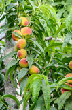 Peaches on the tree branch Royalty Free Stock Photo