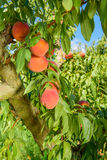 Peaches on the tree branches. Fresh Peaches on a the tree branches, vertical Royalty Free Stock Image