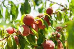 Peaches on tree Royalty Free Stock Image