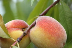 Peaches on the tree Stock Image
