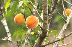 Peaches on tree ready to harvest Royalty Free Stock Image