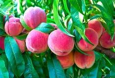 Peaches on tree Stock Photography