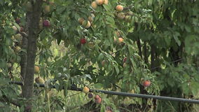 Peaches trees stock video
