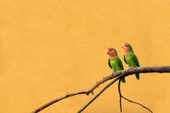 peachfaced的爱情鸟 免版税库存图片