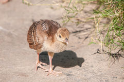Peachick Royalty Free Stock Image