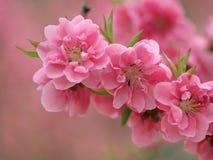 Peachs de florescência Foto de Stock Royalty Free