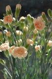 Peachy Carnation Spray Stock Photography