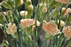 Peachy Carnations Royalty Free Stock Photo
