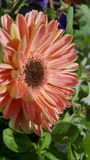 Peachy flower Royalty Free Stock Photo