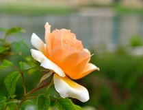 Peachy petals! Beautiful peach rose in full bloom!. This peach rose captured my eye by a lake in College Station, TX royalty free stock images