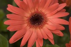 Peachy Pink Gerber Daisy Stock Image