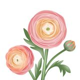 peachy ranunculus bloemen royalty-vrije illustratie