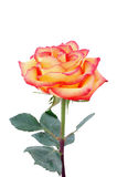 Peachy rose. Fresh rich isolated peachy rose Stock Images