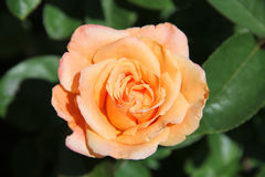 Peachy Rose Royalty Free Stock Images