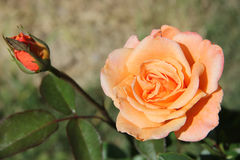 Peachy rose with bud Stock Photography