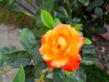 Peachy rose Royalty Free Stock Photos