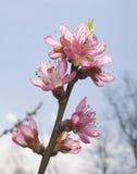 peack цветений Стоковые Фотографии RF