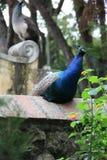 Peackock Blue Feather. Bird Garden Grey Animal Stock Images