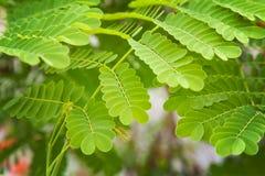 Peackock flower leaves Stock Photos