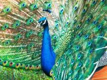 Peacock – Pavo cristatus