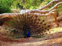 peacock άγρια περιοχές Στοκ εικόνα με δικαίωμα ελεύθερης χρήσης