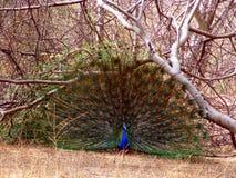 peacock άγρια περιοχές Στοκ Εικόνα