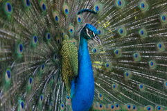 peacock άγρια περιοχές Στοκ Φωτογραφίες